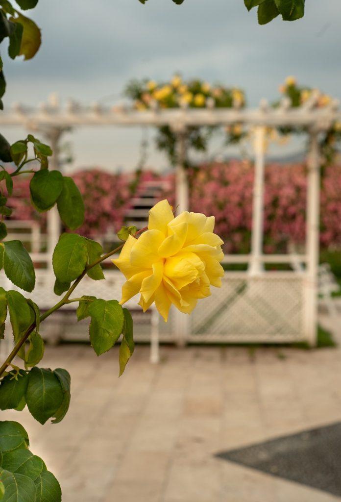sarı güllerin yetiştiği yer